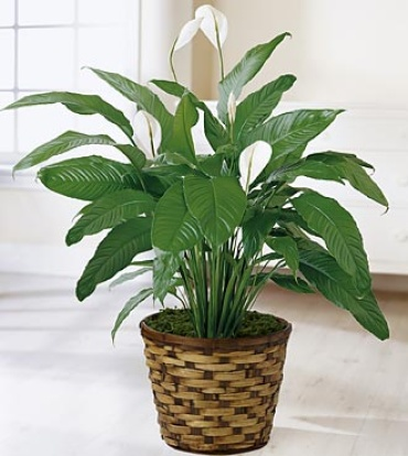 The Spathiphyllum Plant large