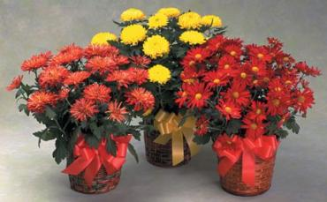 Fall Mum Basket