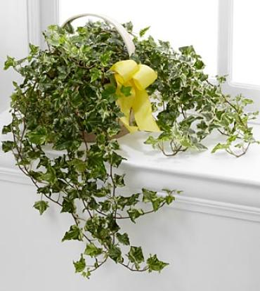 The Solace Ivy Planter