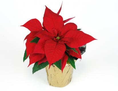 Christmas Poinsettia